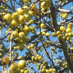 Golden Hornet Crabapple