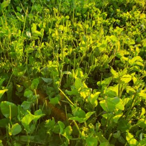 Deer Forage Clover